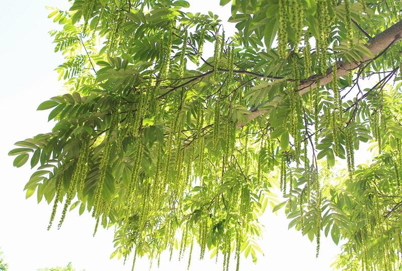 aasialainen puulajike