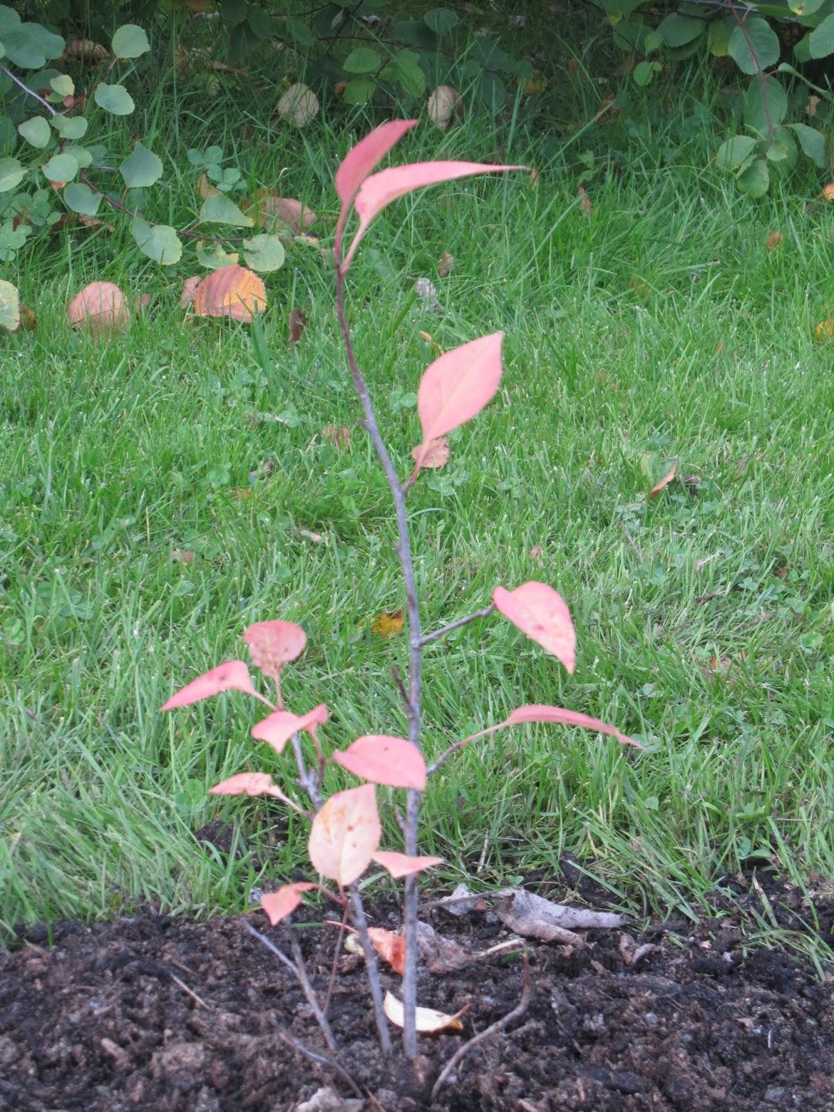 primulas hage: Plantet busker og trær