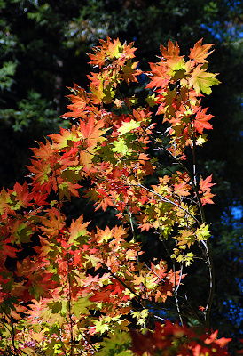 Red and Green Maple Leaves Highlighted in Dark Forest