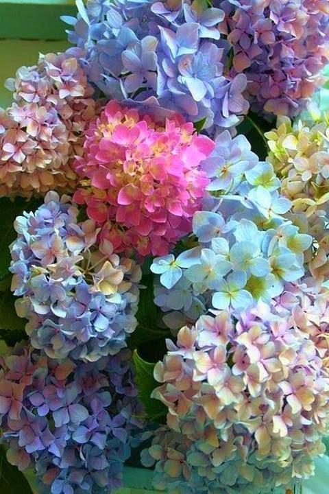 cvece hortenzija
