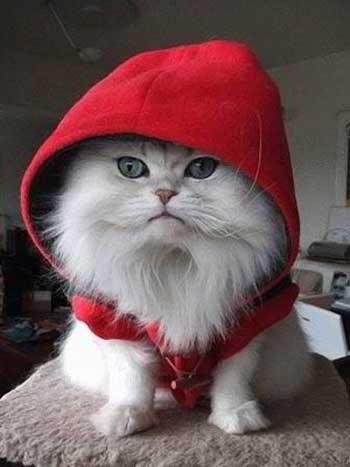 gambar anak kucing manis lagi bergaya pake mantel