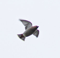 Waxwing, 14th December 2010