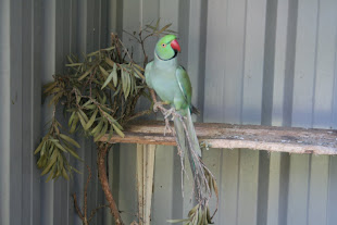 Indian Ringnecked Parrot