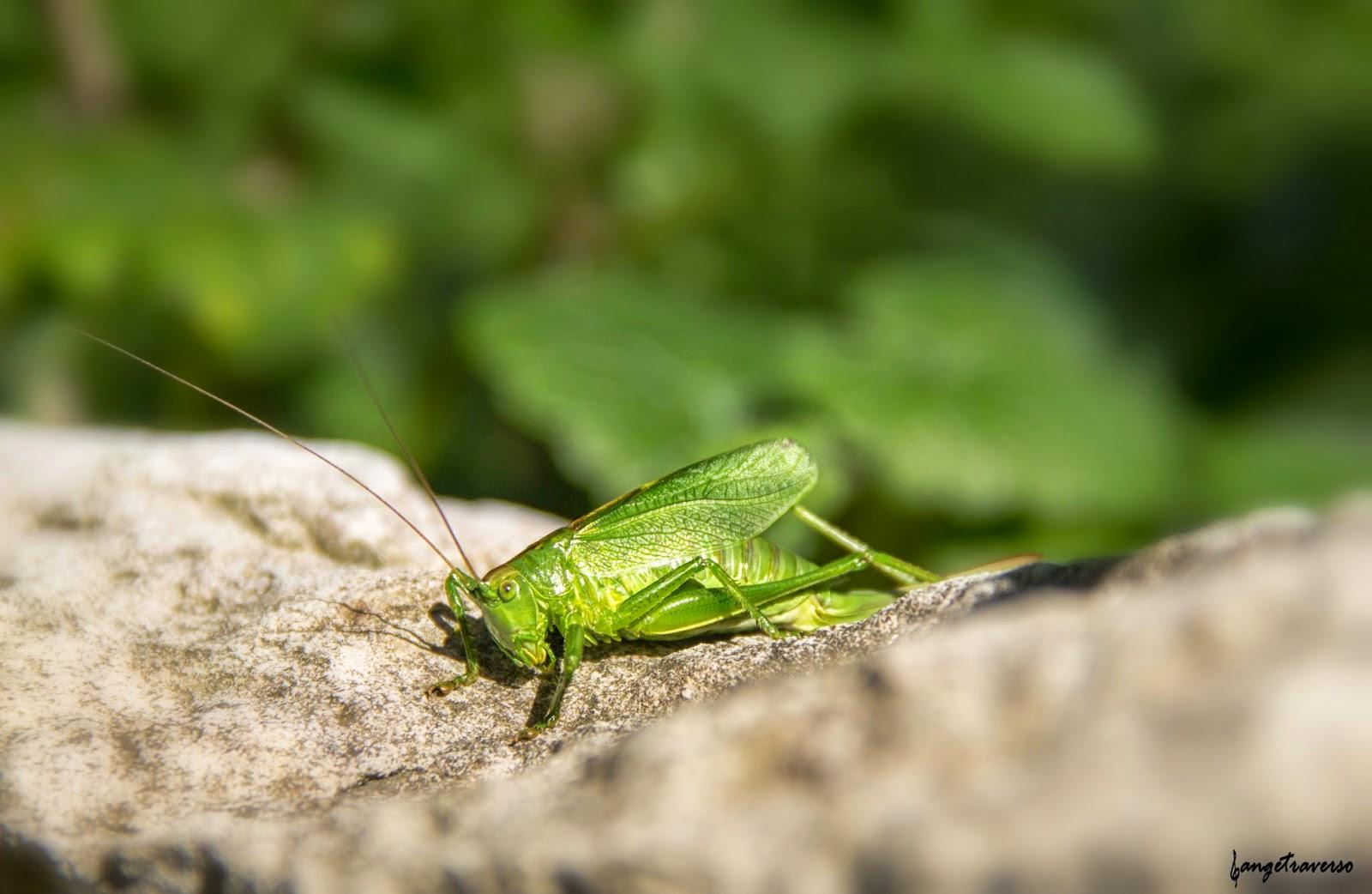 Macro de grillon, portrait d'insecte