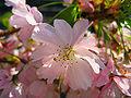Sakura roz, preluare din Wiki
