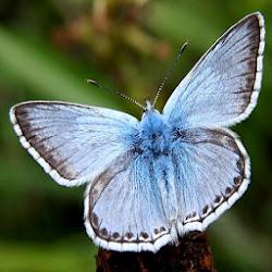 Male Chalkhill Blue (Polyommatus coridon)