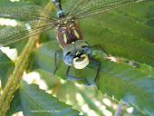 Happy-face Dragonfly