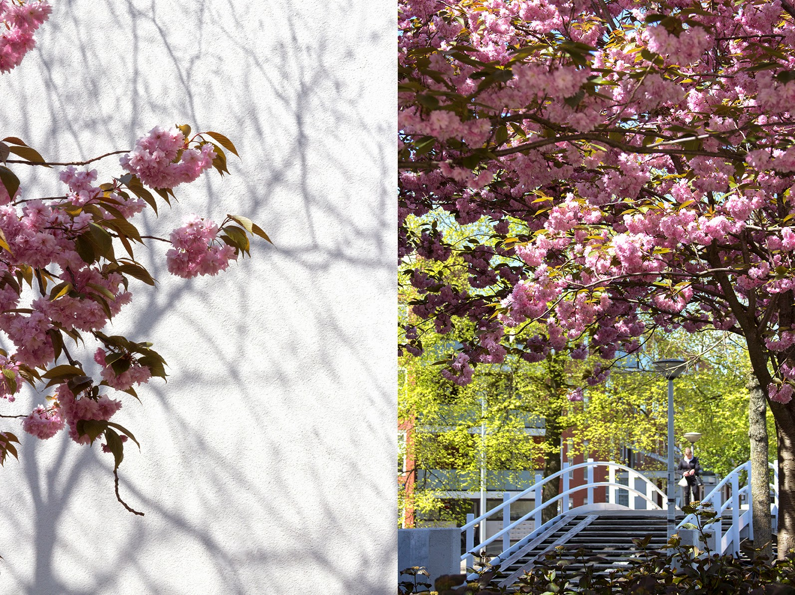 blossoms, shadows and a bridge