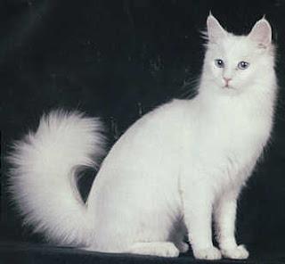 Kucing Angora