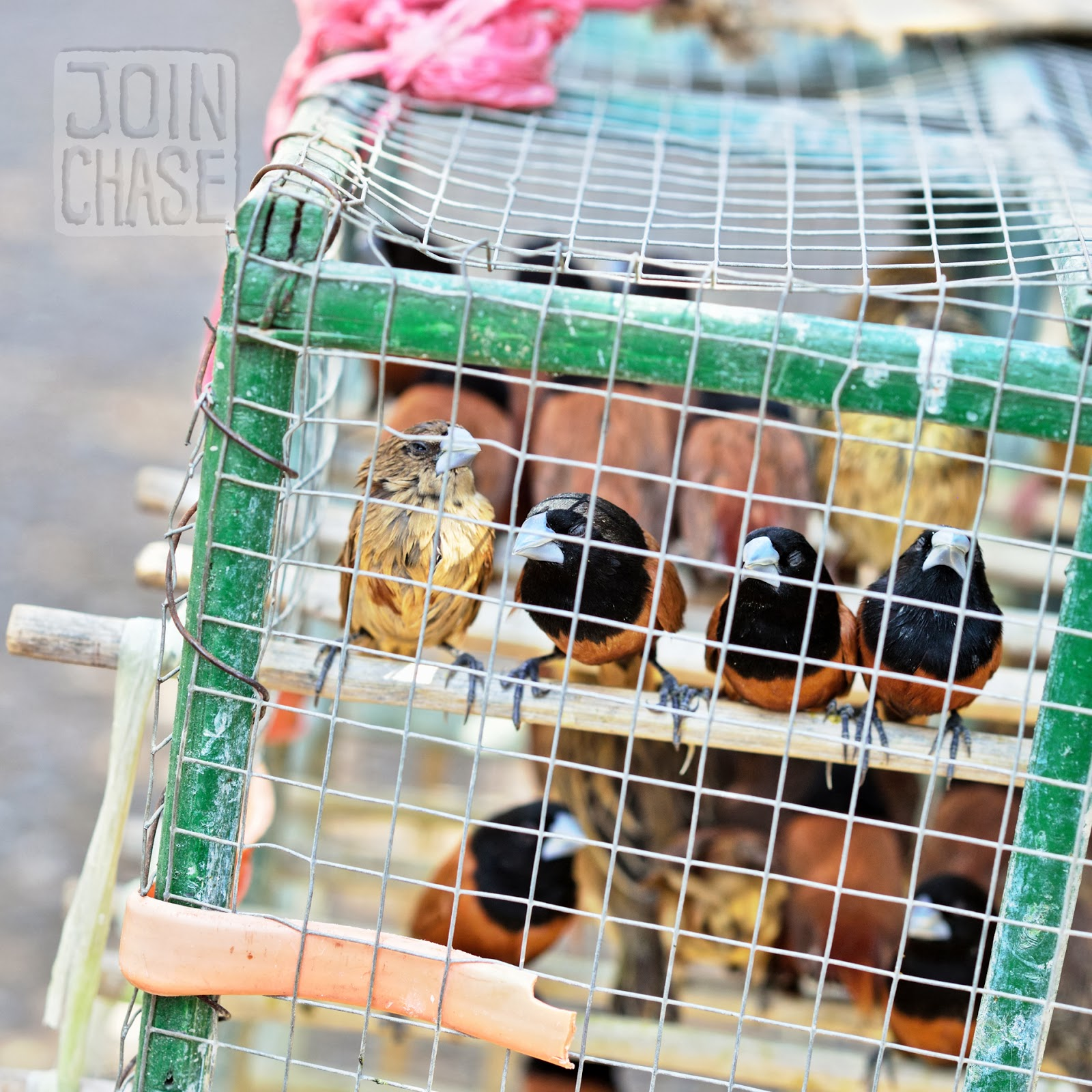 Birds in a cage in Yangon, Myanmar.