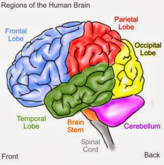 Brain Anatomy Coloring Pages