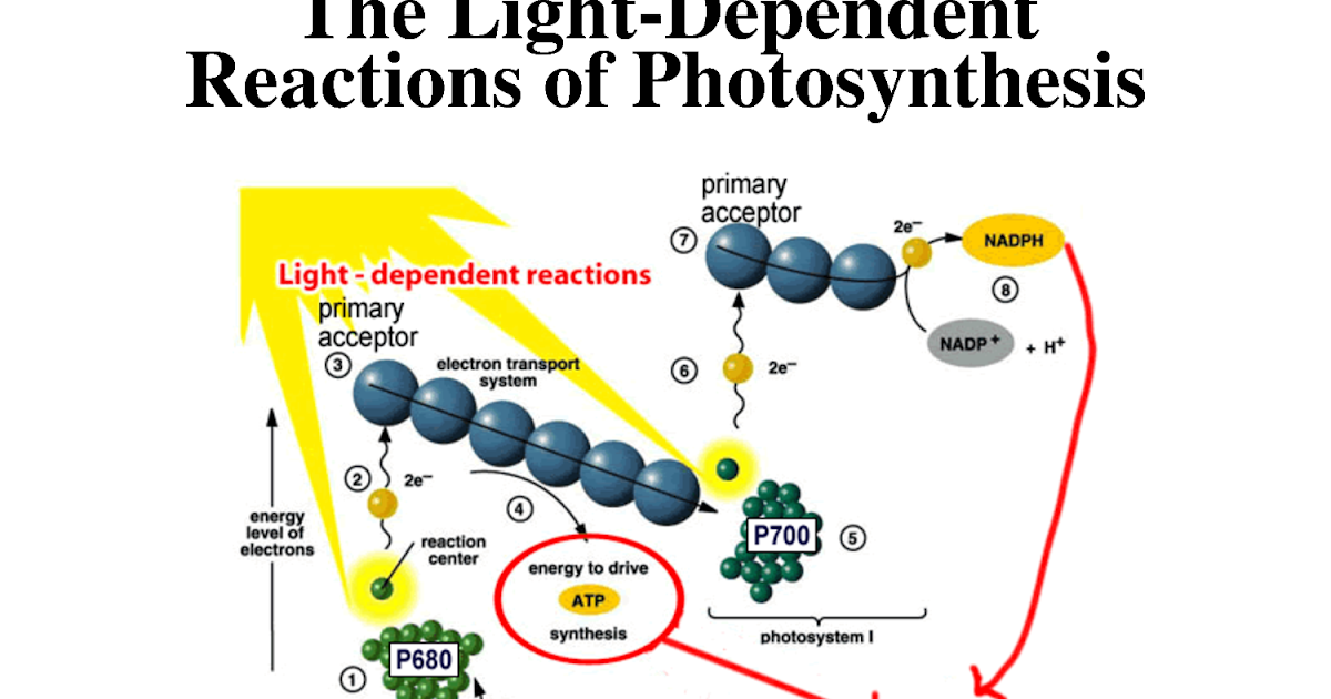 2 stages of photosynthesis In this lecture, i cover the concept of photosynthesis i go through the 2 stages of photosynthesis: the light-dependent and light-independent reactions.