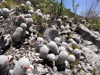 Mammillaria Tehuacan-Cuicatlan Desert