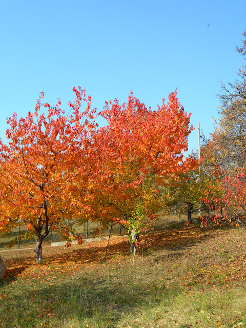 Autumn Cherry Tree2