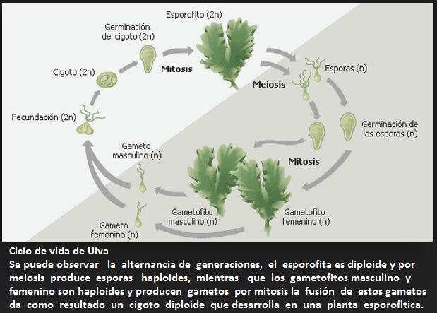 Diatomeas reproduccion asexual de plantas
