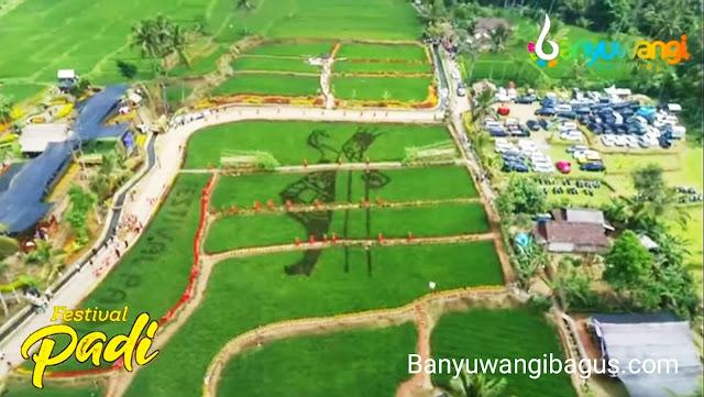 Di Tengah Pandemi Banyuwangi Gelar Festival Padi 2021, Lokasinya Bakal Dikembangkan Jadi Agrowisata