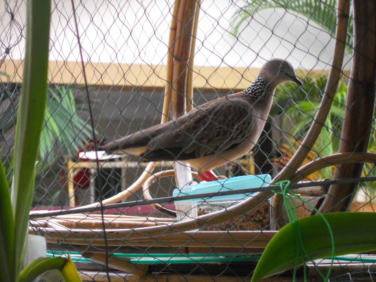 merbuk n tekukur burung baru cabar tekukur garang depan rumah