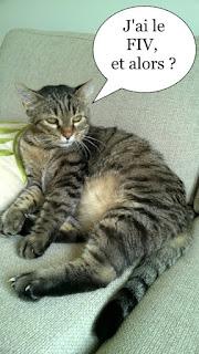 Chat gris qui a le FIV