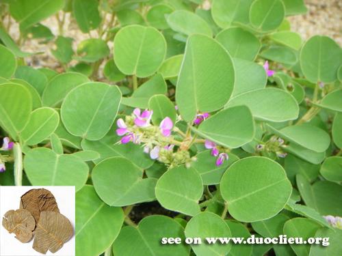 Dessmodium styracifolium (Osbeck) Merr. (Leguminosae)