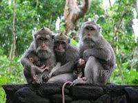 Monkey at Ubud Monkey Forest