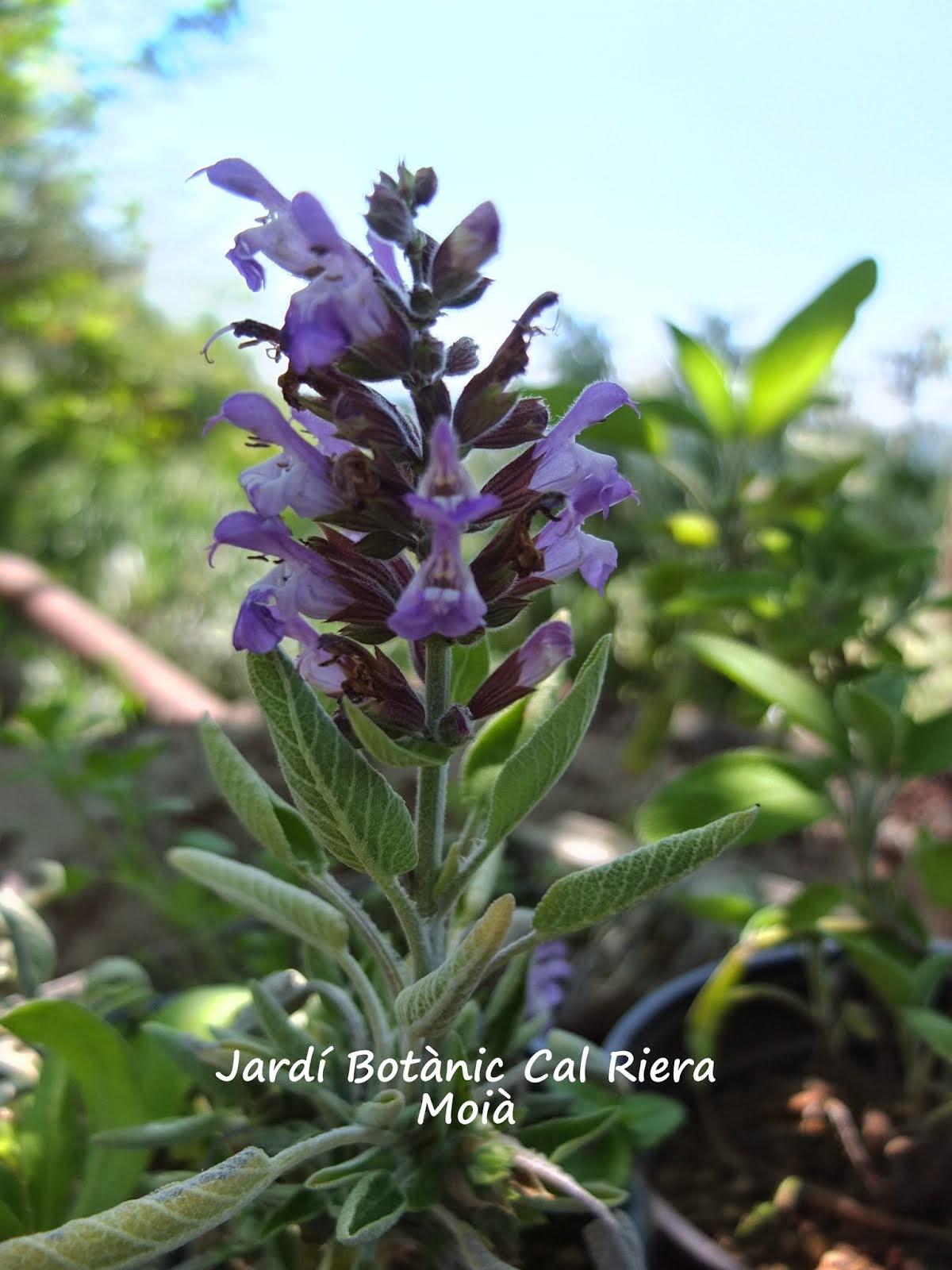 Salvia oficinalis