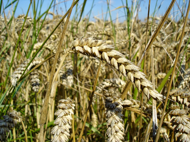 Research Proves Wheat Can Cause Harm To Everyone's Intestines