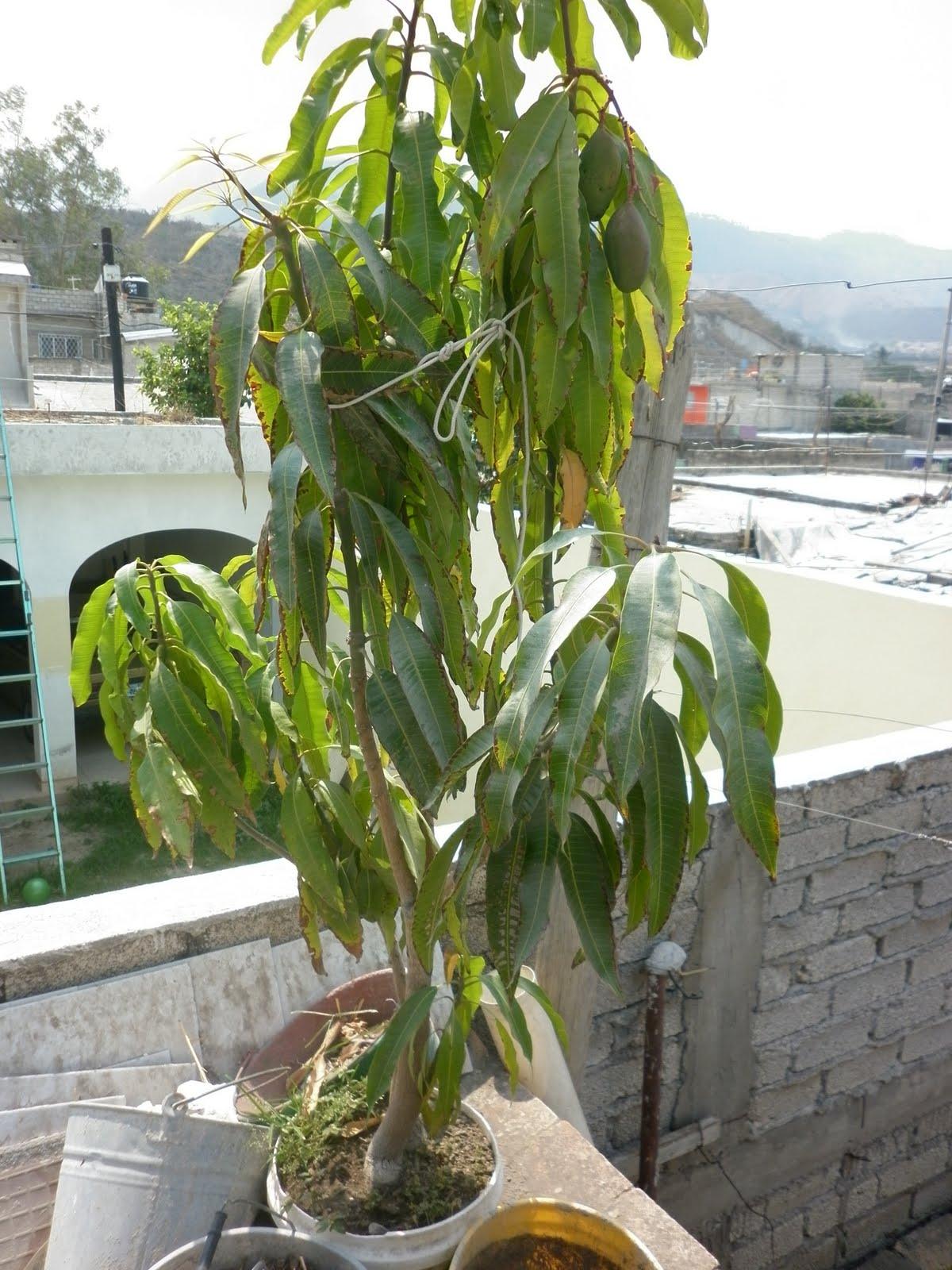 Mango se puede tener en un tiesto o maceta - Plantar arboles frutales en macetas ...