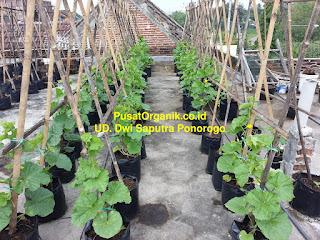 cara menanam melon organik dalam polybag