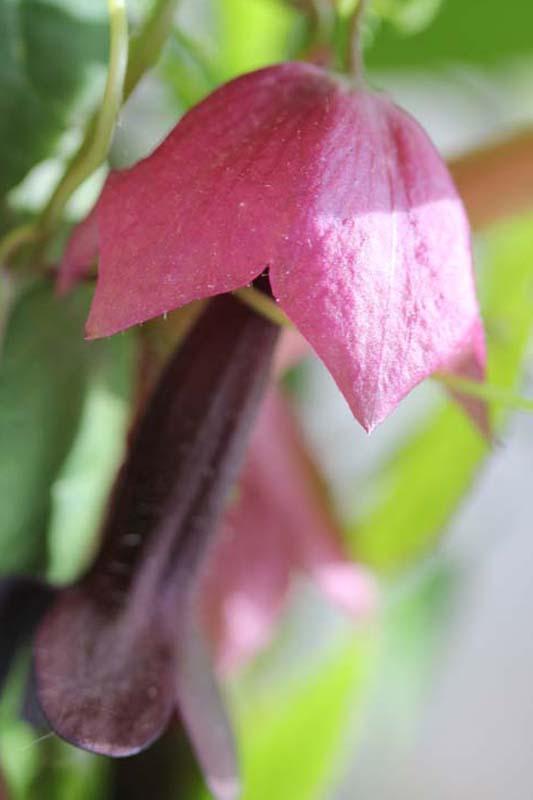 Affenschaukel, Purpurglöckchen, Rosenkleid