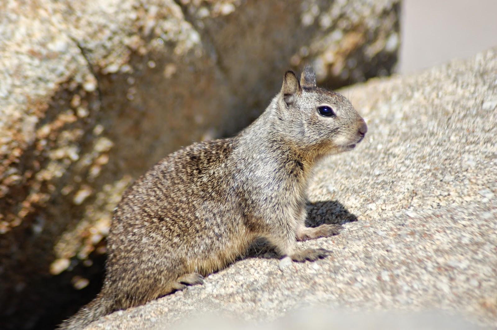 Écureuil à Monterey