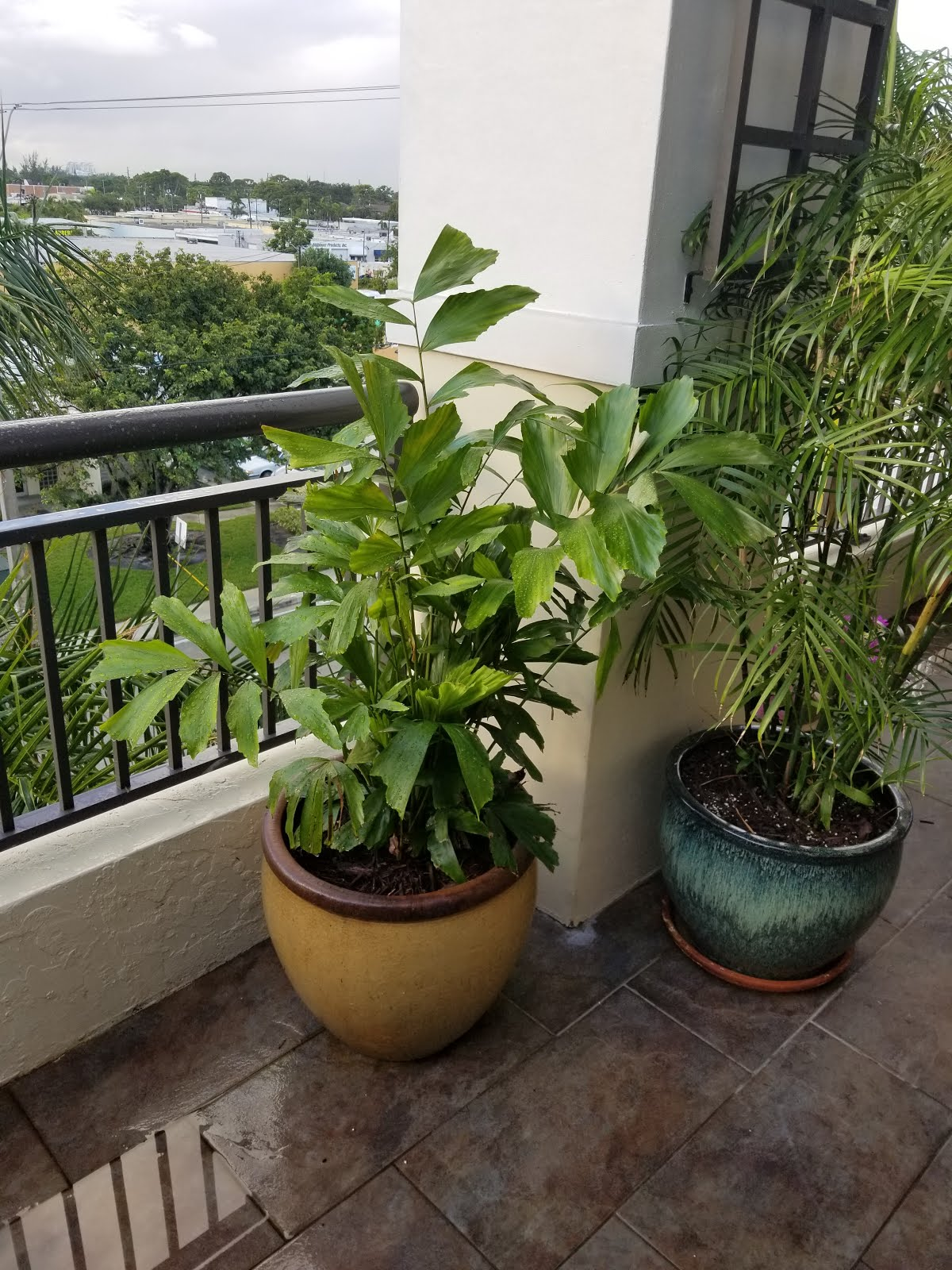 Fishtail Palm (to 6' in this pot?)
