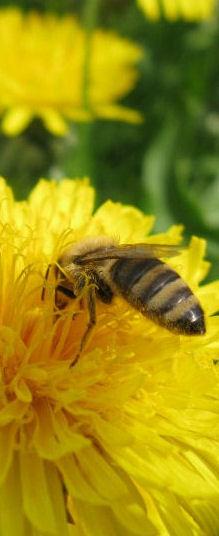 Nektar toplayan işci arı