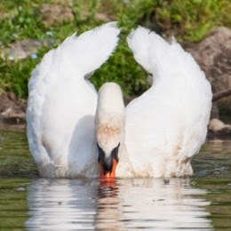 mute swan with raised wings