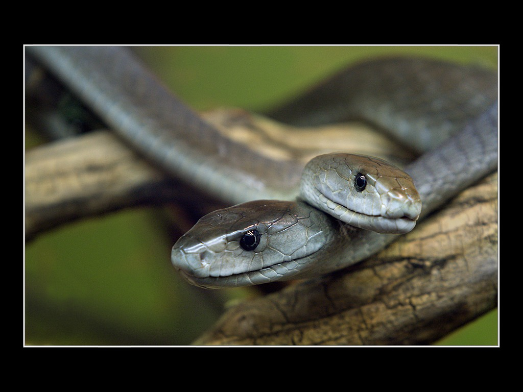 snake venom Snake venom, genetic entropy, and adam's curse  by  evolutionists originally believed new snake venom genes came about by the duplication of genes that have.