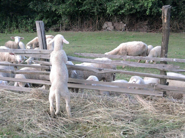 sheep, funny animal pictures of the week