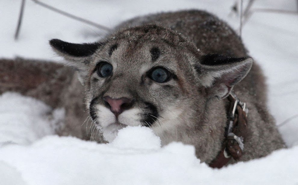 Funny animals of the week - 7 February 2014 (40 pics), mountain lion on the snow