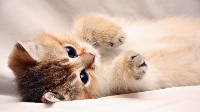hình nền máy tính mèo con dễ thương đáng yêu