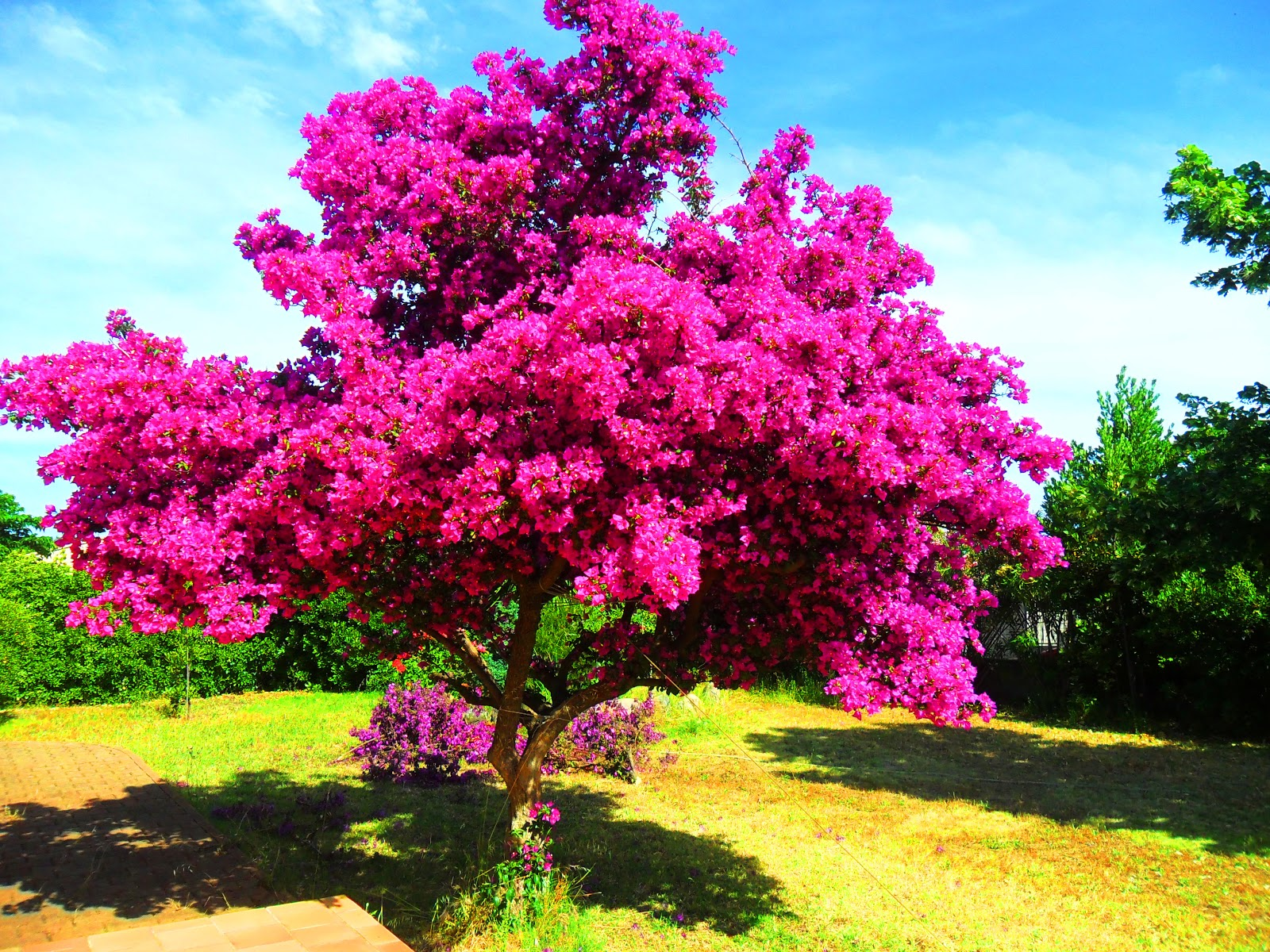 Photographies de sophie v arbre bougainvillier for Arbuste ornemental