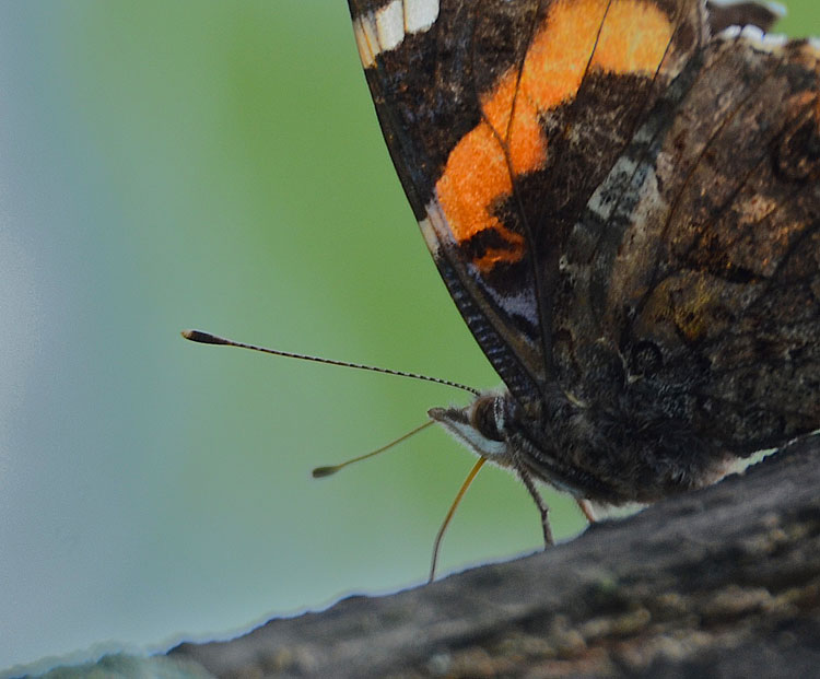 The profile of a Red Admiral butterfly with a great view of his proboscis while feeding at a tree sap flow.. 