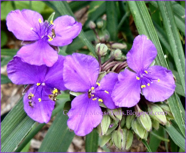 spiderwort - purple bloomers - tiny bees photo