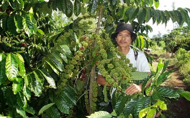 jenis tanaman kopi