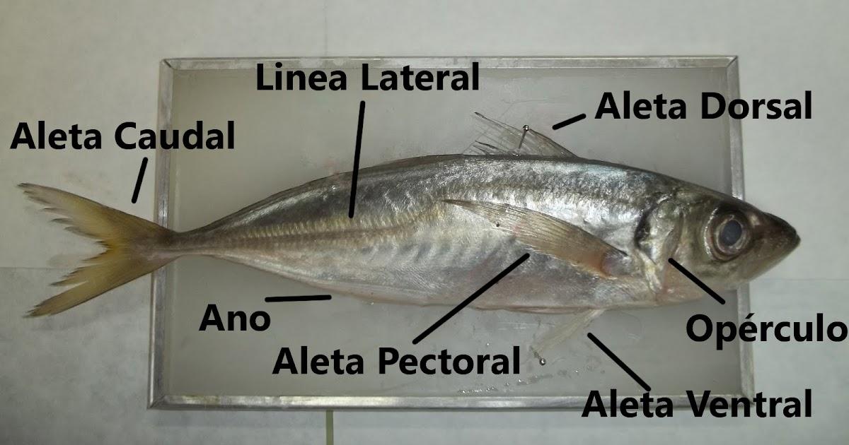 Departamento de Biología IES Laguna de Tollón: Disección de un Jurel