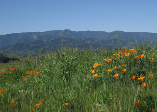 View of Mt. Umunhum with California poppies in the foreground, Country View Drive, San Jose, California