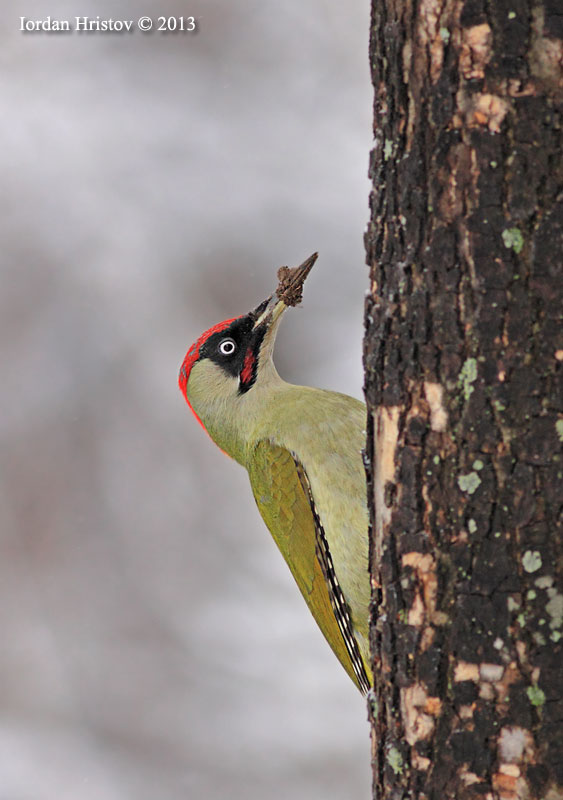 Green Woodpecker photography by Iordan Hristov