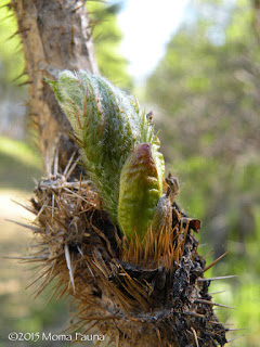 Devil's Club leaf bud,  Oplopanax horridus