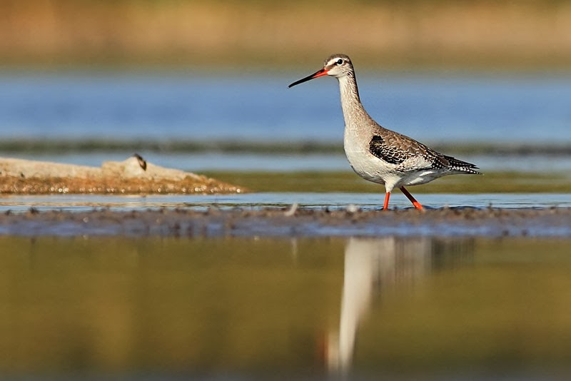 Spotted redshank © Iordan Hristov