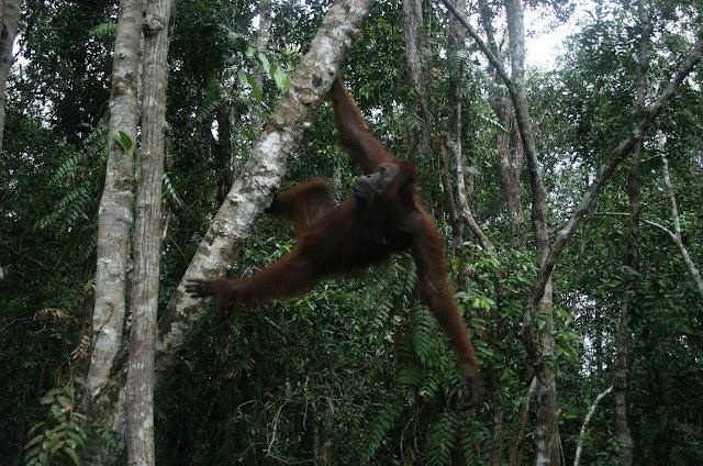 Bumitama Diminta Berhenti Membahayakan Nyawa Orangutan