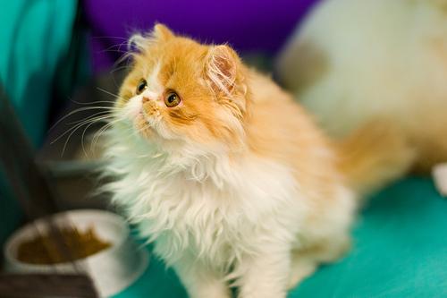 Harga Gambar Kucing Parsi Gambar Kucing Parsi Related