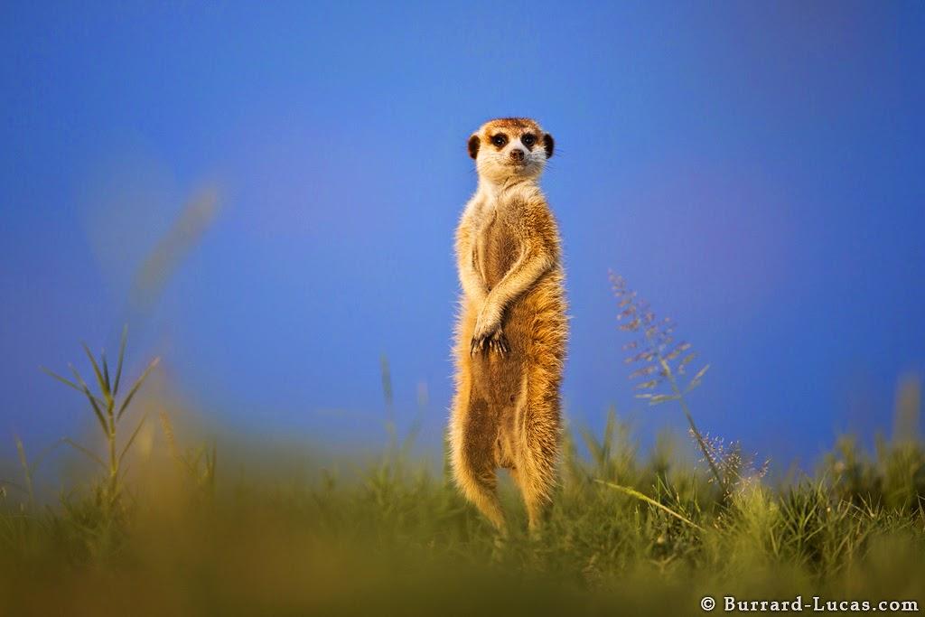 suricata parada en dos patas