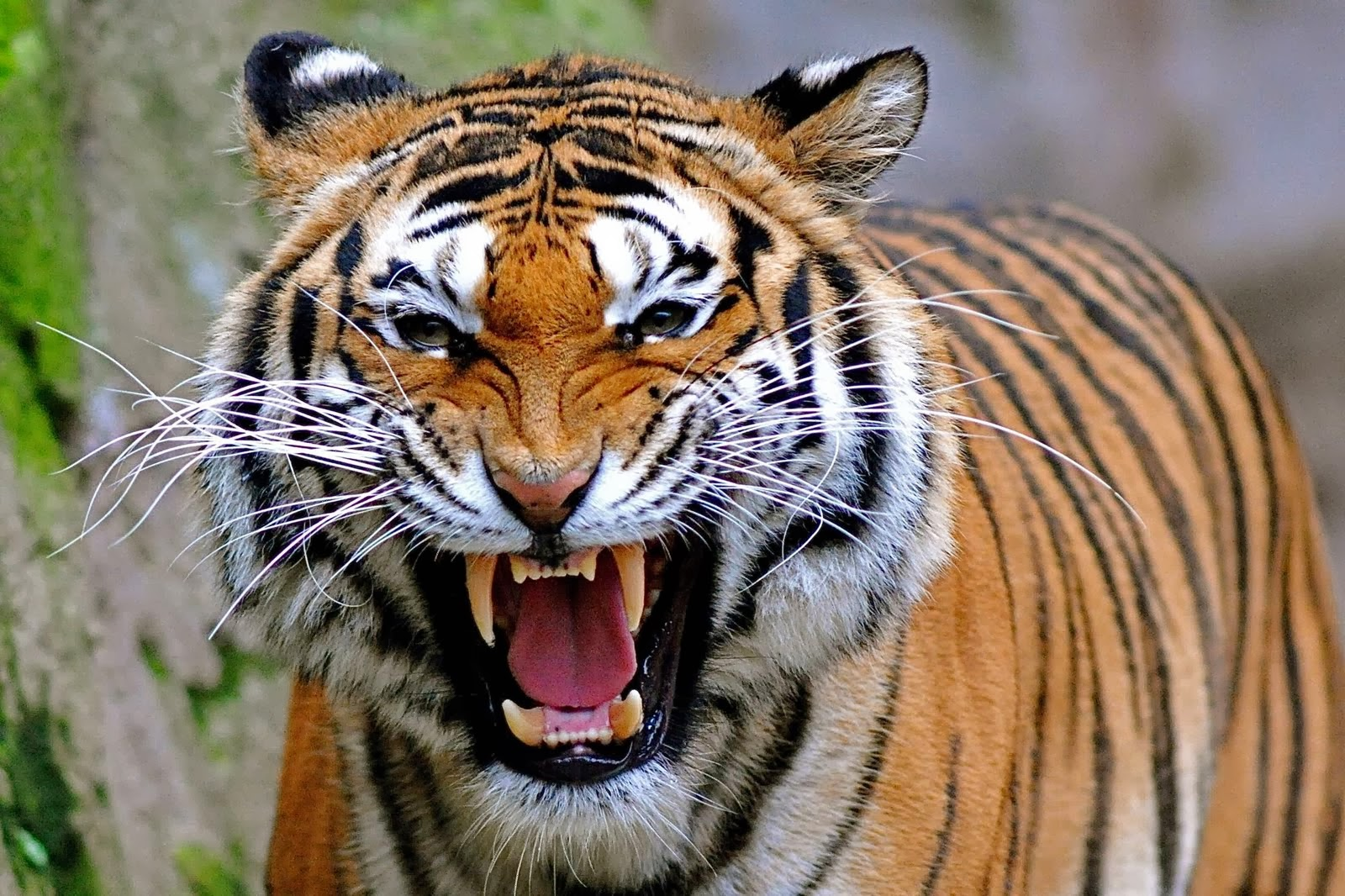 Tiger Face Wallpapers Free Hd Desktop Wallpapers Download